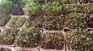 Growing Microgreens: Big Nutrition in Small Packets!