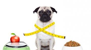 Wellness For Your Maltese Dog